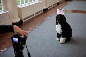 Feb. 29, 2012 -- Bo, the Obama family dog, as he was being videotaped for the Easter Egg Roll, in the East Colonnade of the White House.