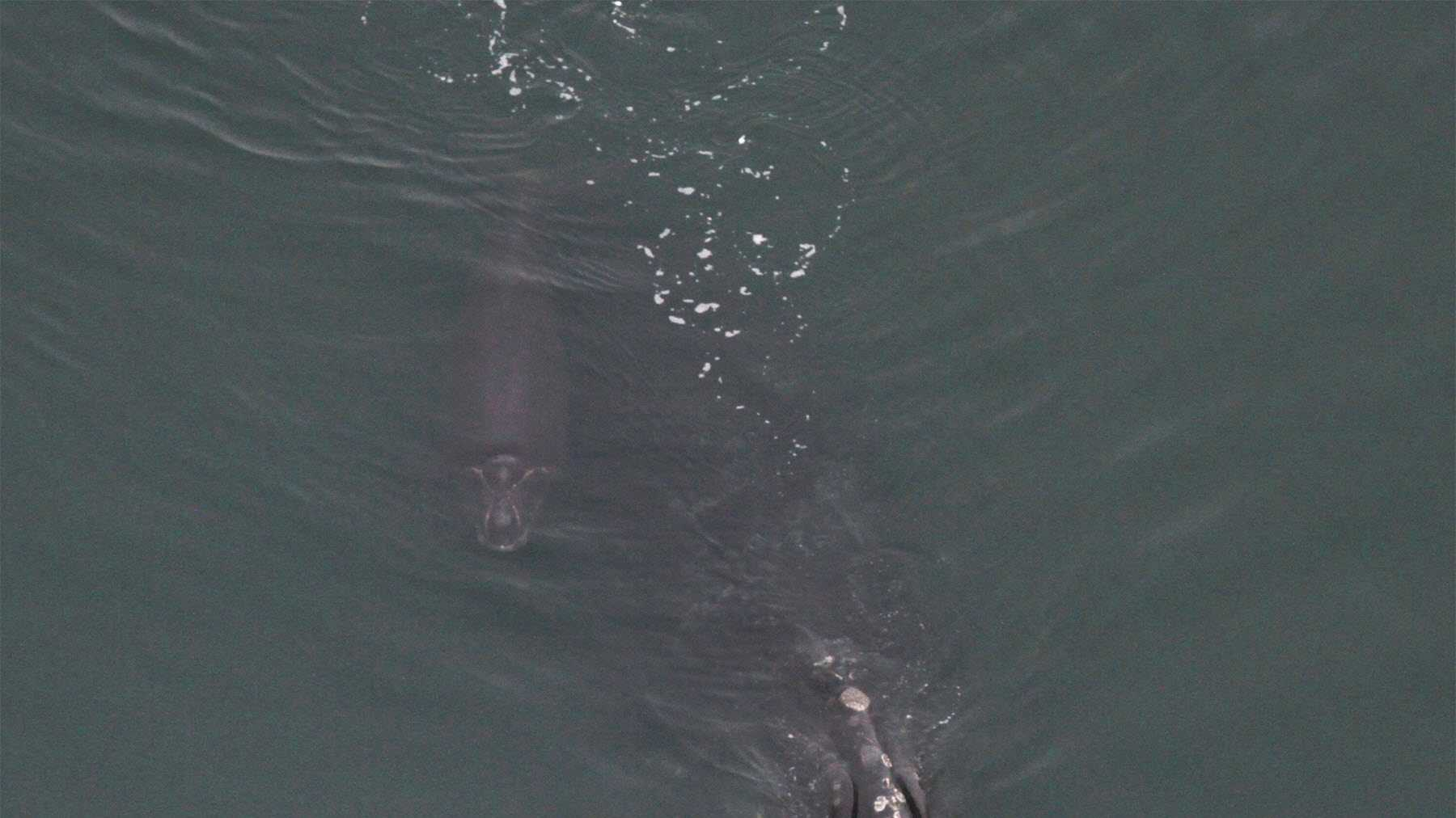 "North Atlantic right whale ""Wart"" with her new calf, photographed today in Plymouth Harbor by PCCS right whale aerial survey team."