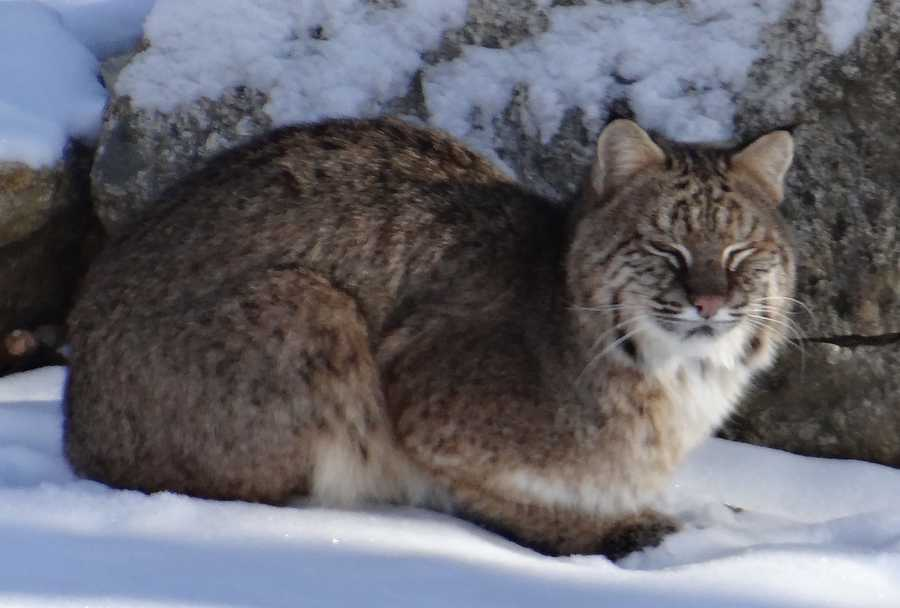 An Oakham resident spotted what appeared to be bobcat in his backyard Saturday morning.