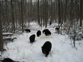 But, this year, Kilham is caring for a record 27 orphaned bear cubs who will not go to sleep.