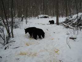 """Now about 50 pounds, one of the """"Moultonborough Twins"""" orphaned this past year checks out a snack left by Kilham in his Lyme sanctuary."""