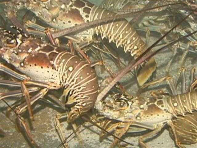 A menu favorite, the spiny lobster, also called crawfish.