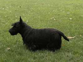 George W. Bush's Scottish Terrier Barney plays in the grass.