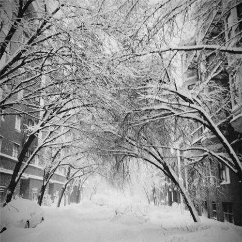 Trees bowed by snow in Back Bay