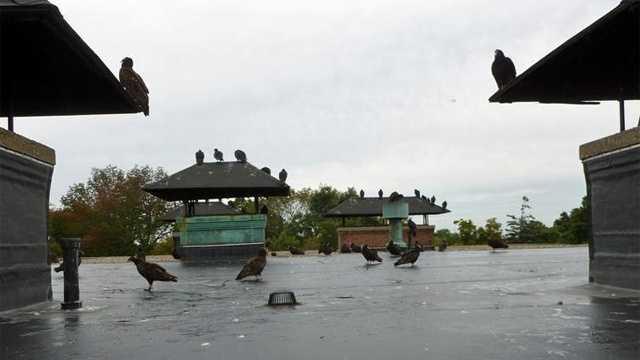 Taunton School turkey Vulture