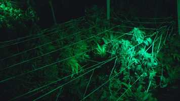 We go inside one of Colorado's marijuana growing operations, where thousands of plants are tagged and being carefully watched over.