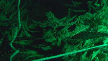This is a look inside one of the growing operations. All marijuana must be grown indoors.