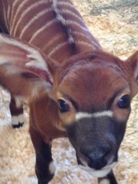A male bongo was born on Feb. 13 at Franklin Park Zoo.