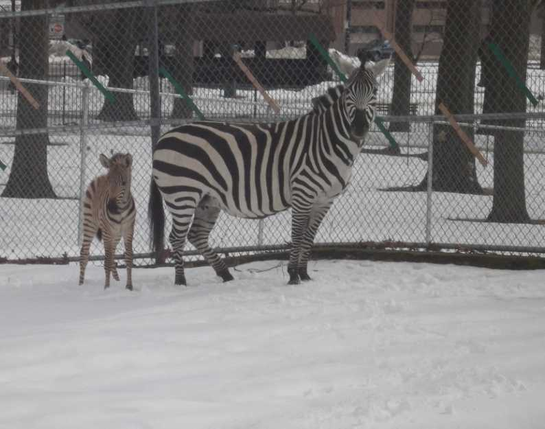 Cheyenne, a Grant's zebra, gave birth to a male foal inside the zebra barn at Franklin Park Zoo.