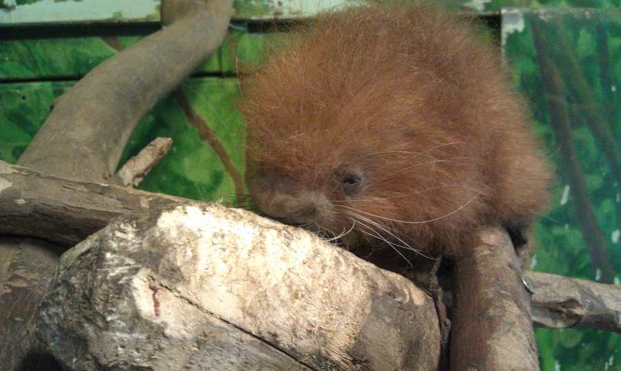 The staff at Stone Zoo was happy to report that a prehensile-tailed porcupine was born on February 16.