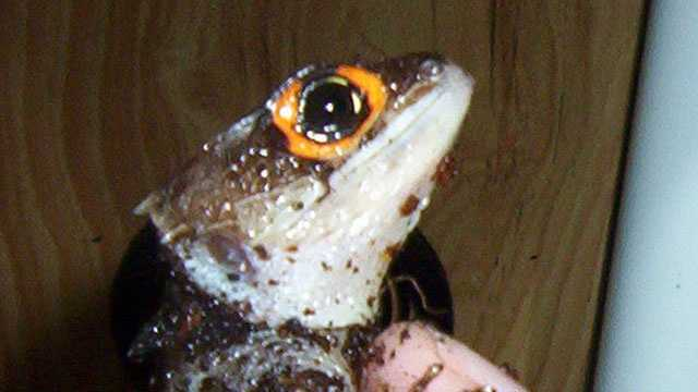 Orange-eyed crocodile skink