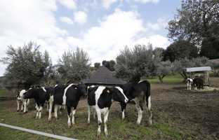 Cows graze in the garden.