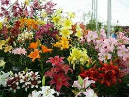Easter, day, tiger, Japanese and Asiatic varieties - can cause kidney failure in cats. Lilies of the valley can cause heart rhythm problems and death in dogs and cats.