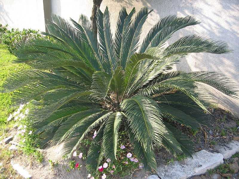 Sago palms are one of a number of toxic plants for dogs and cats.
