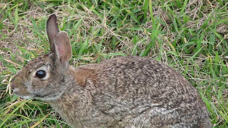 Cottontail rabbit, bunny