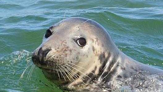This gray seal is blissfully unaware of all the complaints about too many seals on Cape Cod.