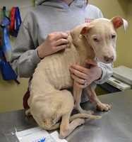 The Animal Rescue League of Boston is asking the public for information about a severely neglected mixed-breed puppy found shivering in Dorchester Wednesday morning by a FedEx driver.