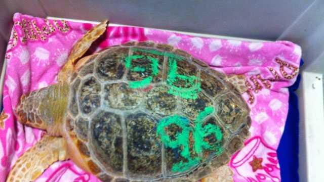 Endangered turtle