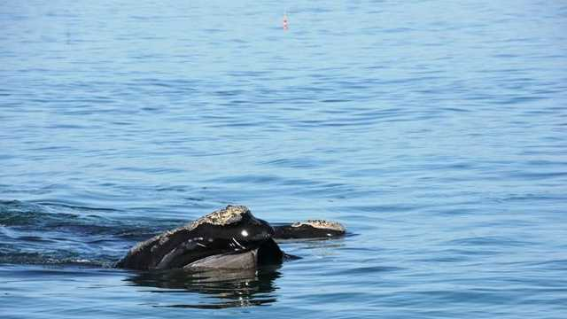 Rare right whales draw crowds to the bluff at Manomet Point in Plymouth