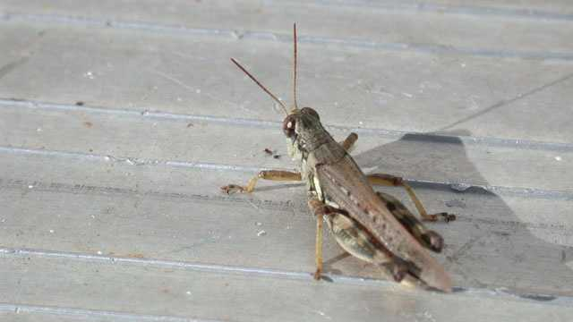 Cricket, bug, insect