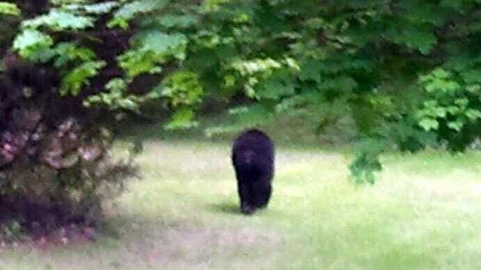 Black Bear MW 052013