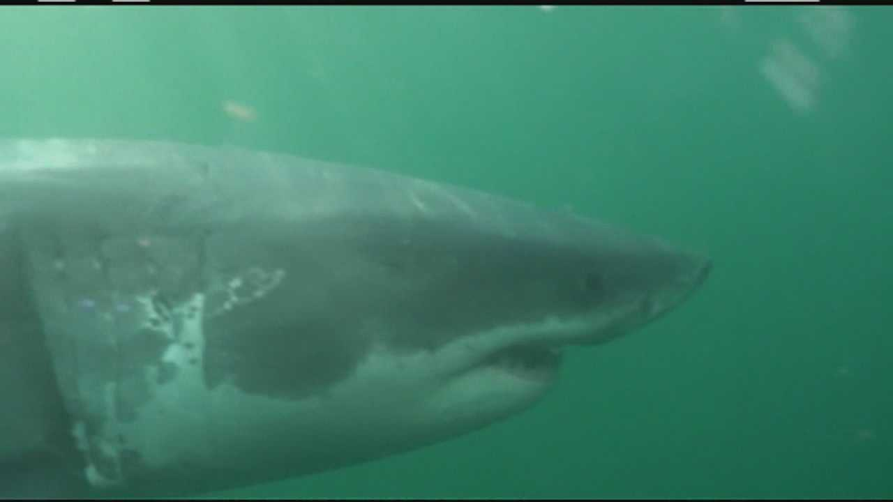 Great White sharks are returning to the Cape.
