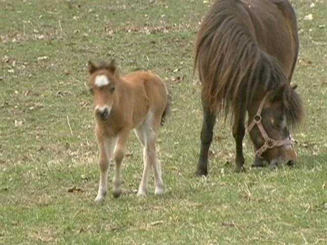 """At this farm, horses are bred, trained and shown on a """"small"""" scale."""