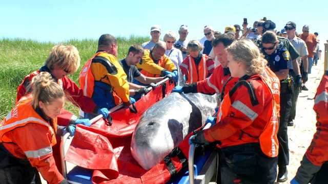 A Risso's dolphin is helped by rescuers after washing ashore off of Osterville on Saturday, June 8, 2013.