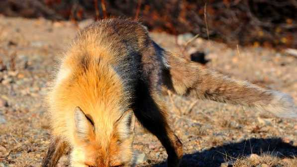 FILE IMAGE: Fox