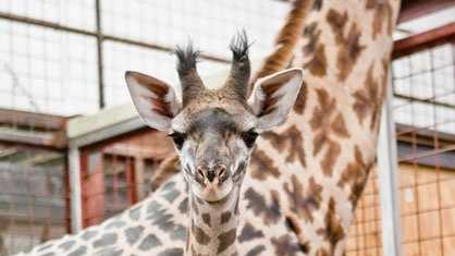 Henrietta the giraffe was born at the Franklin Park Zoo on Nov. 27, 2012.