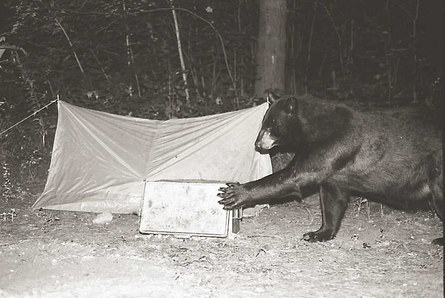 Residents in Warren said a number of black bears are coming out in broad daylight looking for food.