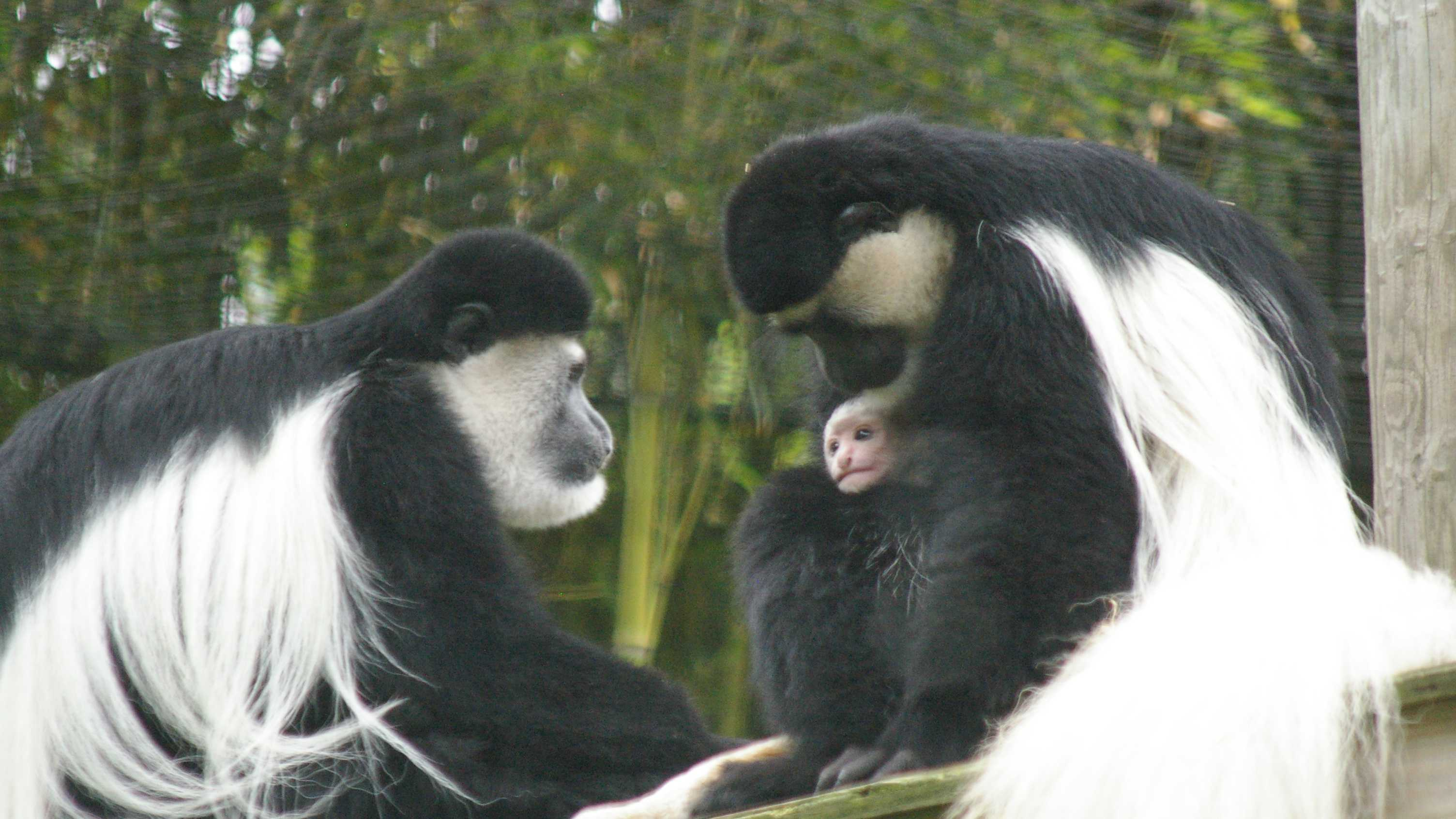 Two Eastern black-and-white colobus monkeys were born at the Stone Zoo in June 2013. The first baby was born on Sunday, June 23 to Mahale, age 12, and Isoke, age 7.