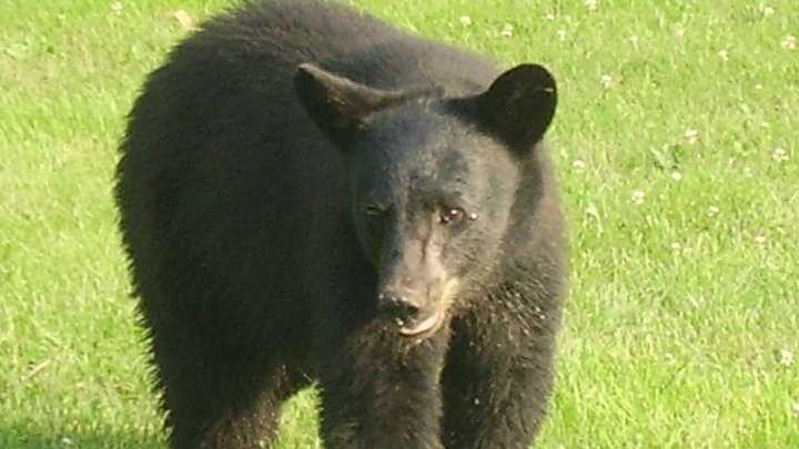 An estimated 600,000 black bears live in North America. About 300,000 of those are in the United States.