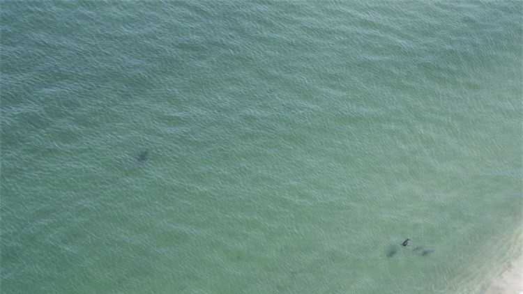 A 15-foot great white was spotted very close to the Cape Cod shore on Sunday.