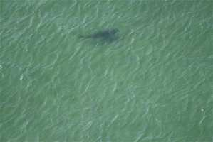 The shark was seen swimming along the coast stalking seals.