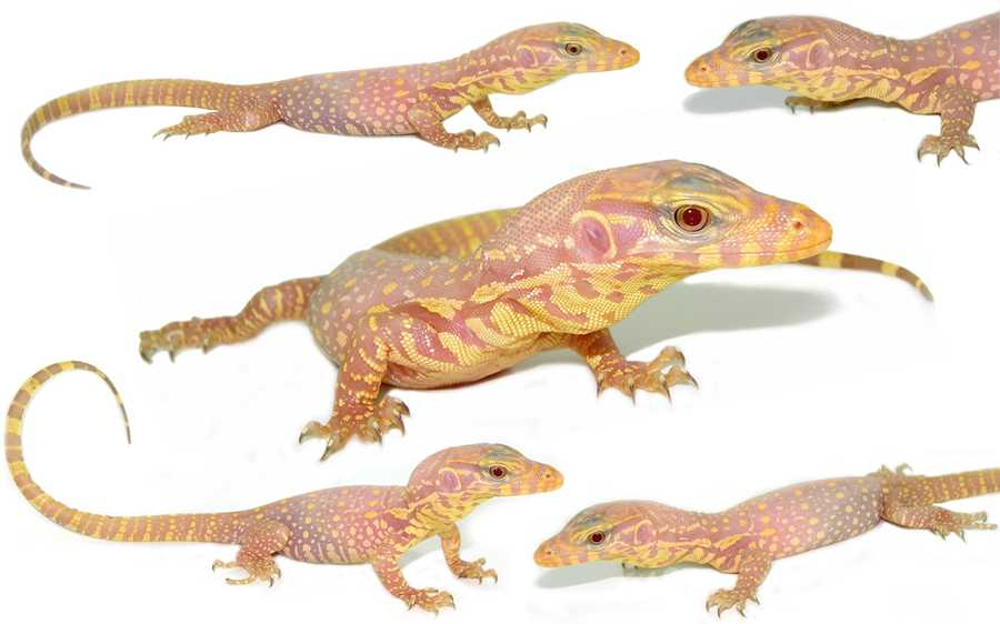 New England Reptile Distributors Inc Bred The Albino Coloring From Two Different Wild