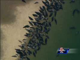 Sky 5 flew over the Chatham area, where hundreds of seals were spotted enjoying the sun on a sandbar.
