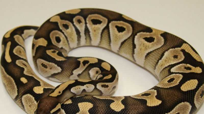 Ball Python 071913