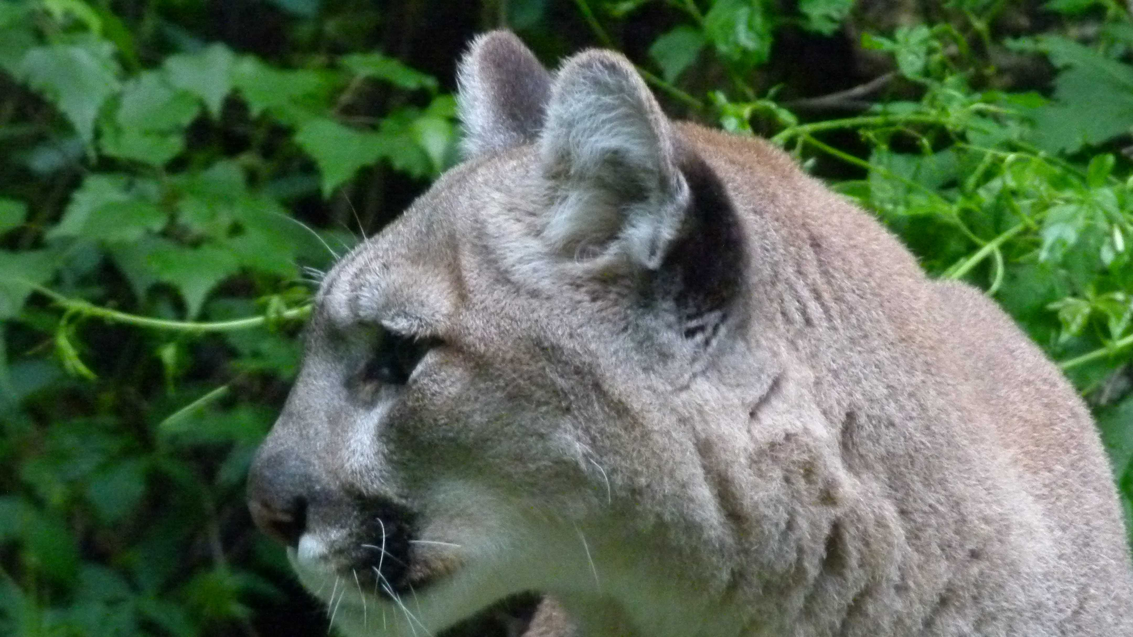 Mountain lions can be anywhere from light grey to tan, with white and dark highlights are around the mouth. Males are larger than females.