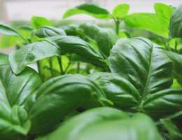 For example, sage and basil contain chemicals that reduce tension and promote sleep.