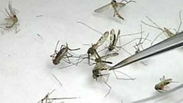 File - mosquitoes