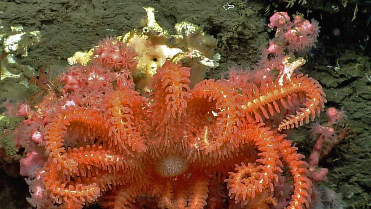 This image provided by NOAA, shows a brisingid seastar rests on a small bubblegum coral in Hydrographer canyon.