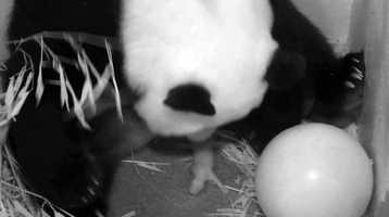 Mei Xiang was agitated when the cub was taken away from her, pacing and growling in her den, but the mother calmed down immediately after the cub was returned to her and she began cradling it,