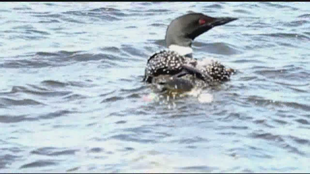 Loon rescued by volunteers
