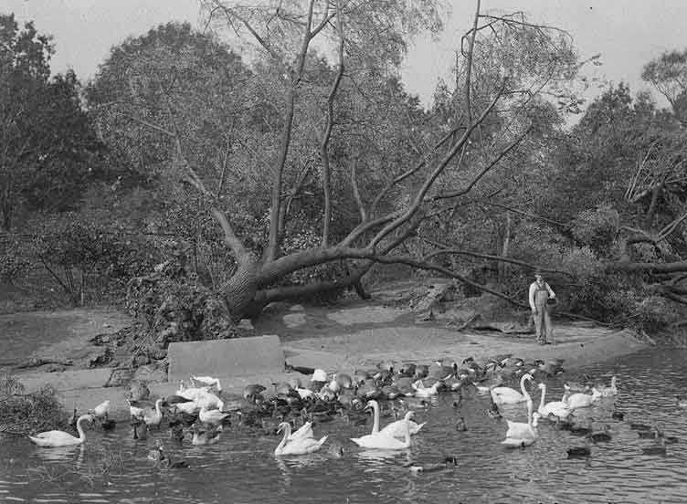 Swans and other birds at the Franklin Park Zoo