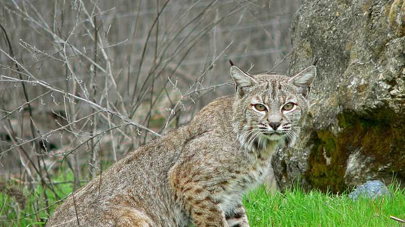 Generic Bobcat