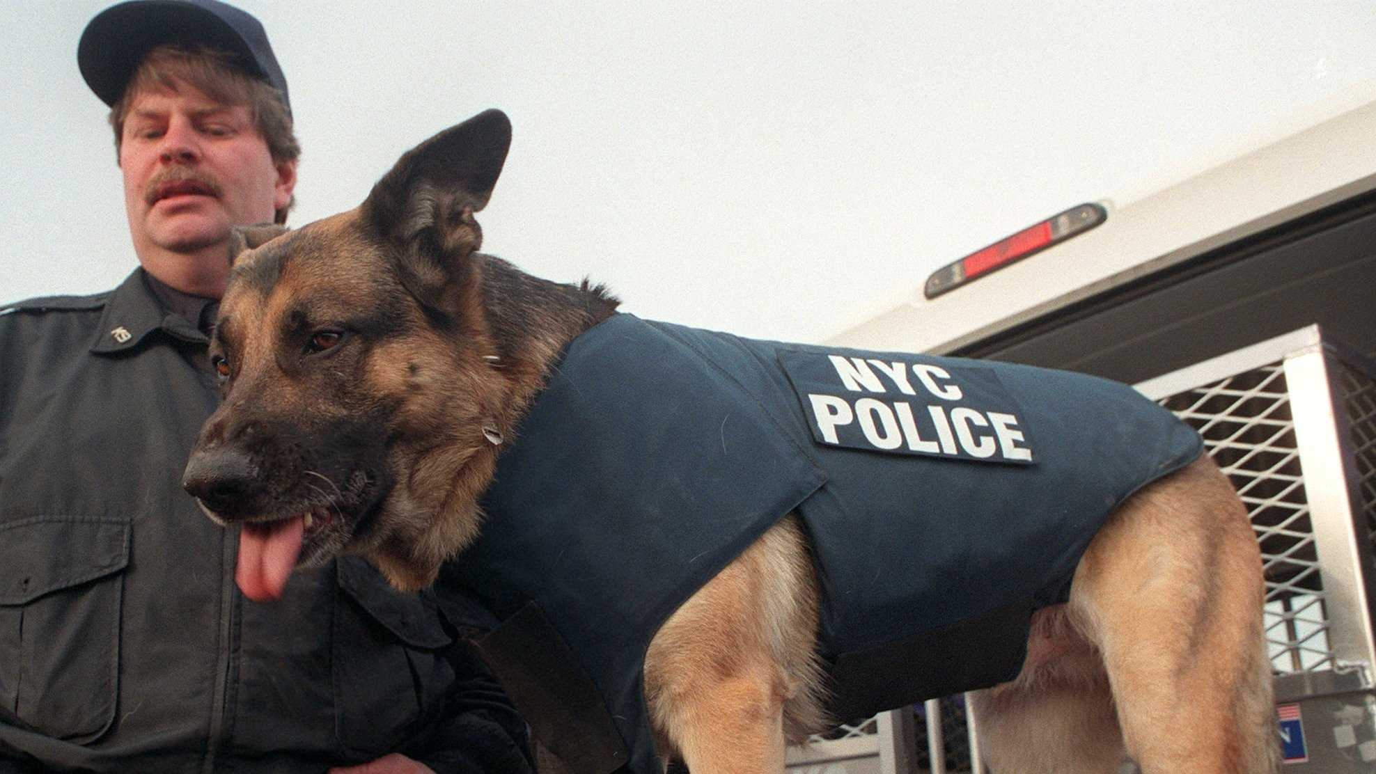 Dog with Bulletproof vest 093013