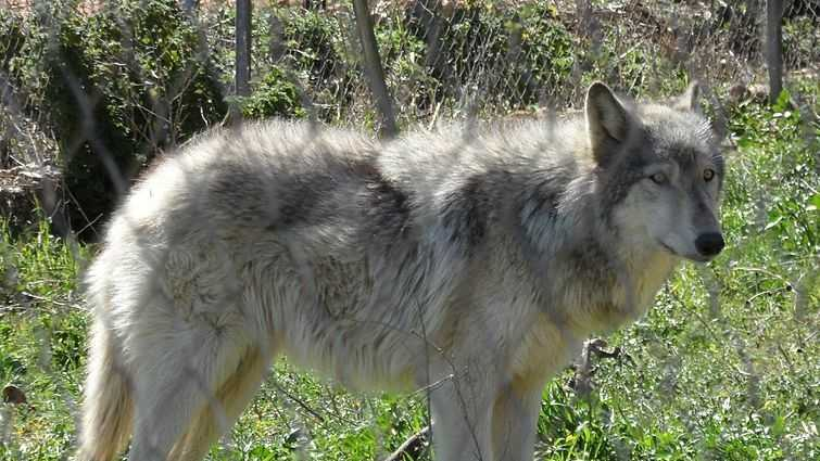 Wolf-dog generic
