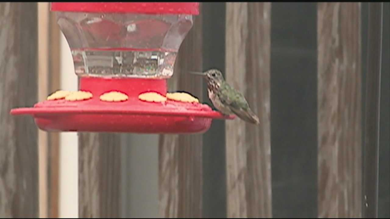 Hummingbird never seen in NH before spotted in Manchester