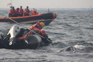 Scott Landry, a leader of the rescue effort, says workers used a knife at the end of a 30-foot pole to slice through rope that was wrapped around both sides of the whale's tail.